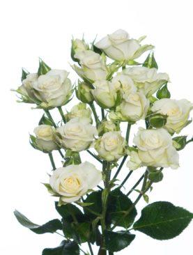 Роза кустовая Супер Бабблз